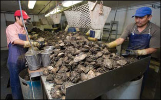 Two workers shucking oysters, photograph by Skip Brown