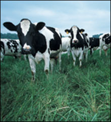 cows in a pasture - ourtesy of the National Resources Conservation Service