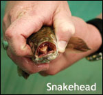 snakehead in a hand