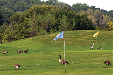 golf course with geese by Erica Goldman