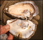 Fat triploid oyster, just shucked and ready for eating by Michael W. Fincham