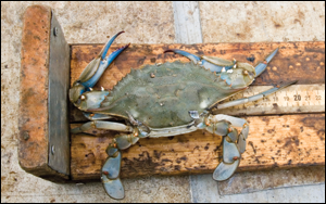 A blue crab being measured during the winter dredge survey. Credit: Skip Brown.