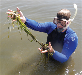 A strand of wild celery found by Debbie Hinkle, a research technician with the University of Maryland Center for Environmental Science. Credit: Dale Booth