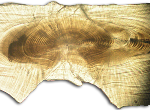 Striped bass otolith. Credit: David Secor