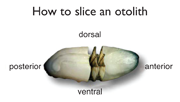 How to slice an otolith. Credit: Illustration by Bob Jones, produced for the Center for Quantitative Fisheries Ecology, Old Dominion University.