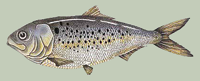 Menhaden. Credit: Maine Department of Marine Resources