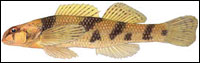 Maryland darter (Etheostoma sellare). Credit: David Neely
