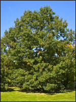 Eastern black oak (Quercus velutina). Credit: Wikimedia Commons.