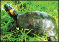 Bog turtle (Glyptemys muhlenbergii). Credit: U.S. Fish and Wildlife Service