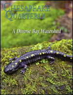 issue cover - Spotted salamanders (Ambystoma maculatum), including this one lying on a log near Ithaca, New York, are common across the eastern United States, including in the Chesapeake Bay watershed.  Photograph, John Cancalosi.