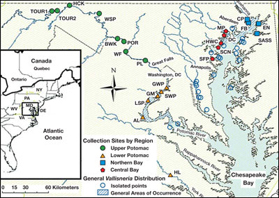 map showing where wild celery is in Maryland