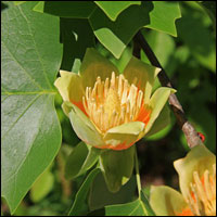 Tulip poplar flowers. Credit: Wikimedia Commons.