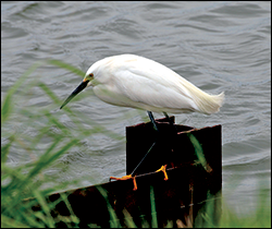 Snow Egret. Credit: U.S. Fish and Wildlife Service