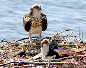 Osprey. Credit: U.S. Fish and Wildlife Service