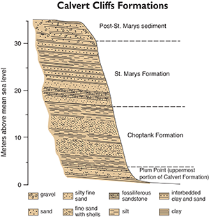 Geologic formations visible in Calvert Cliffs redrawn by Sandy Rodgers from figures in Clark et al. 2004