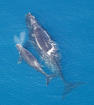 North Atlantic right whale. Credit: NOAA/NMFS