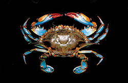 Blue Crab. Credit: Iain McGaw and Carl Reiber