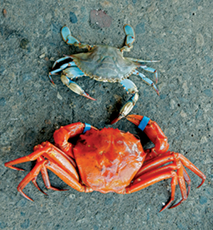 Red and blue crab. Credit: Brad Stevens/UMES