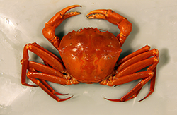 Red Crab. Credit: Brad Stevens/UMES