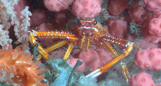Lobster in coral. Photograph: NOAA-OER/BOEM/USGS