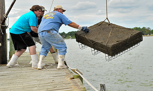 Ted Cooney and his partners bend their backs to hoist a cage of oysters onto the dock at Madhouse Oysters. Credit: Madhouse Oysters