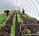Fresh produce grows year-round inside plastic-covered greenhouses. Credit: Wendall Holmes, Strength to Love II