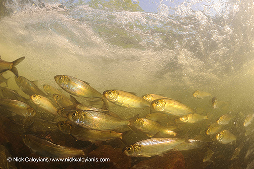 A school of alewives and herring. Photograph by Nick Caloyianis