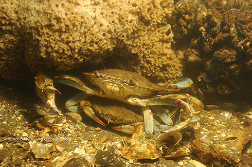 A male crab cradels a female. Photograph by Nick Caloyianis