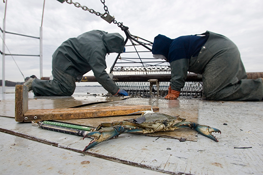 Two biologists sort through blue crabs. Photograph by Skip Brown