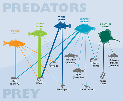 Predator/Prey Graphic: Nicole Lehming; Source: Scientific and Technical Advisory Committee, Chesapeake Bay Program