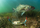 Striped bass and blue crab. Photograph, Jay Fleming