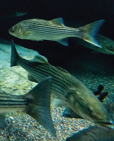 Image of 3 striped bass swimming in a giant tankwith gravel and rocks on the bottom. Photograph, Will Parsons
