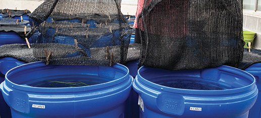 Two black nets hanging over large buckets full of water and live celery.