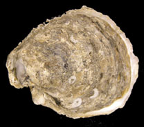 Umbo view of an oyster - by Adam Frederick