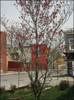 Flowering dogwood on Bruce Street