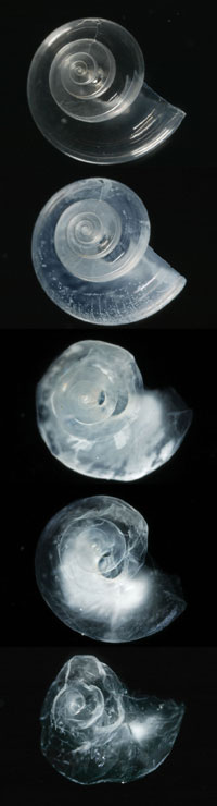 Dissolving pteropods by David Liitschwager, National Geographic Images