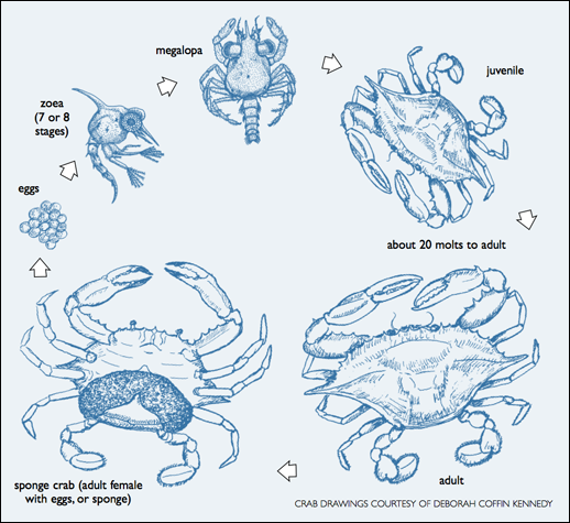 Atlantic Blue Crab Life Cycle. Crab Drawings Courtesy of Deborah Coffin Kennedy.