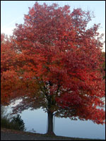 Red maple (Acer rubrum). Credit: Wikimedia Commons.