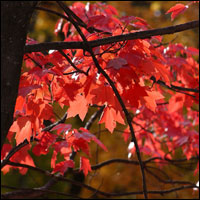Red maple leaves. Credit: Jeff Dean.