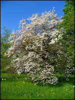 Dogwood (Cornus florida). Credit: Wikimedia Commons.