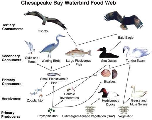 Waterbird food web. Credit: U.S. Geological Survey (modified from Perry et al., 2005).