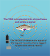 Diagram of a striped bass with a tag with signal picked up by a receiver. Illustration, recreated by Sandy Rodgers from the original by the Fisheries Conservation Foundation, except the striped bass, which is by Duane Raves