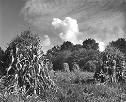 Corn stalks stacked for harvest on the Eastern Shore of Maryland. Photograph, Constance Stuart Larrabee, Courtesy Chesapeake Bay Maritime Museum