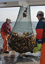 VIMS crew hauls in a sample using a bottom trawl. Photograph, VIMS