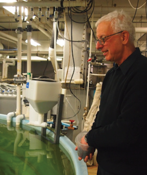 Yonathan Zohar, who focuses on marine and aquaculture biotechnology, feeds fish in IMET's aquaculture center. Photograph, Rona Kobell
