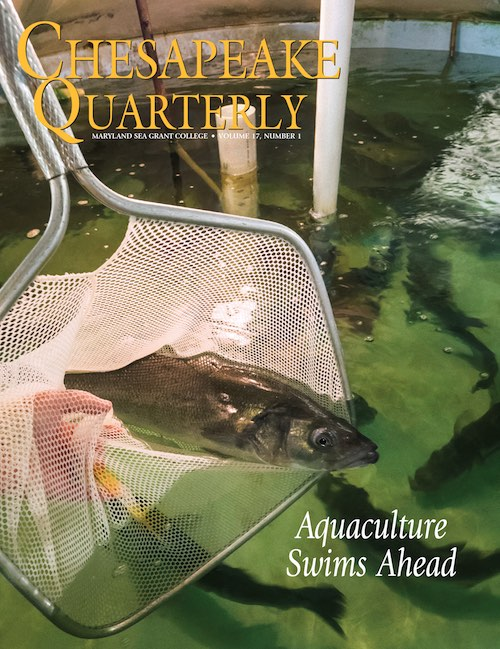 issue cover - Bronzini broodstock, also known as European sea bass (Dicentrarchus labrax), swim in a tank at IMET's Baltimore lab. Photograph, David Harp