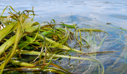 Wild celery and water stargrass are thriving in the Susquehanna Flats.