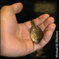 small bluegill fish in someone's left hand