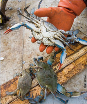 gloved hand holding crab by Skip Brown
